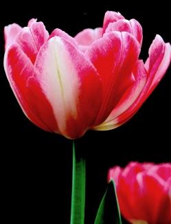 pinktulip